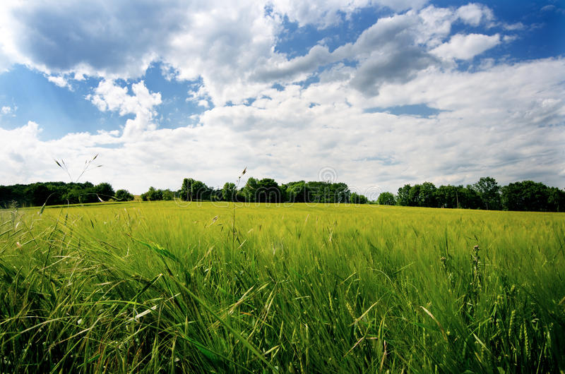 Agricultural wheat fields. Summer time in a nature. Sun light. Green fields and windy weather. Rural scene royalty free stock photo