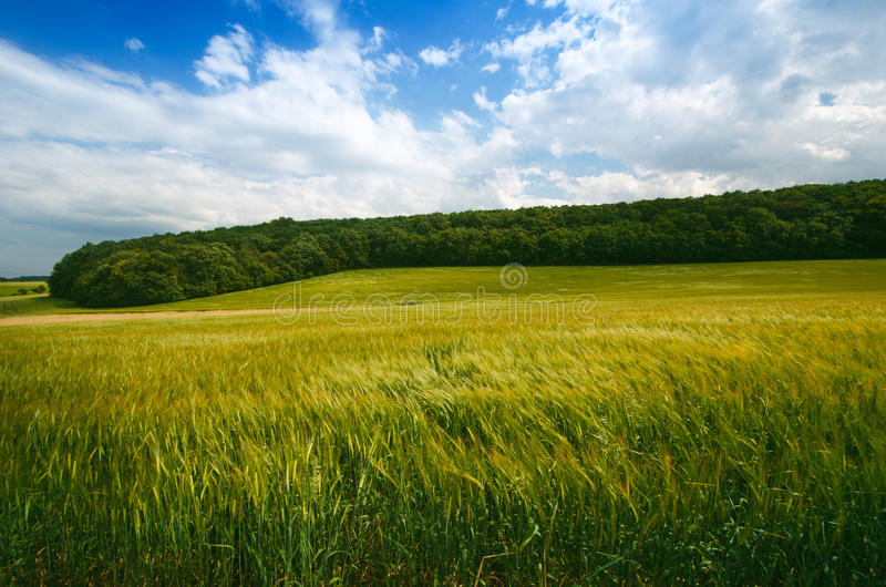 Agricultural wheat fields. Summer time in a nature. Sun light. Green fields and windy weather. Rural scene stock photography