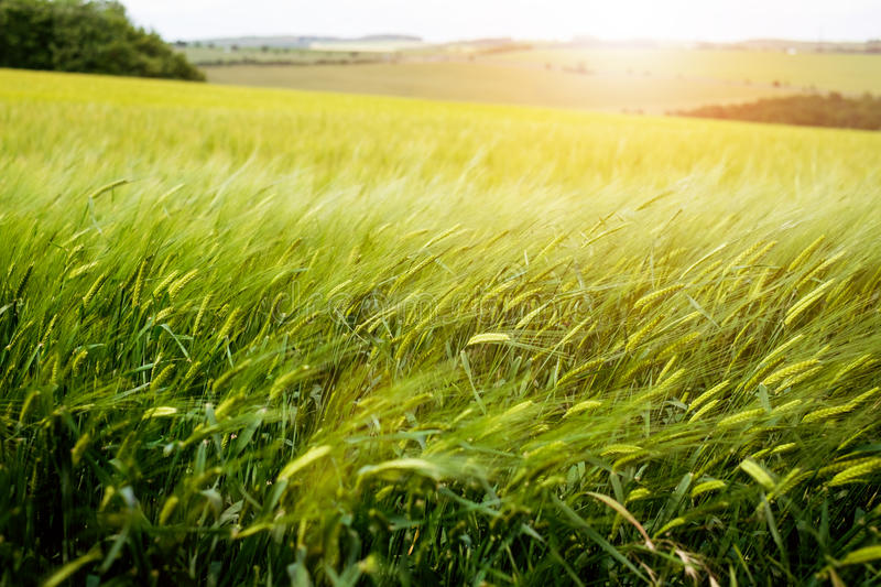 Agricultural wheat fields. Summer time in a nature. Sun light. Green fields and windy weather. Rural scene stock photos