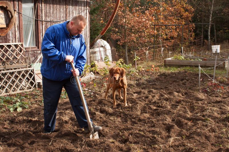 Agricultural work. Portrait of a man digging soil with shovel. Autumn yard work. A farmer preparing the ground for the winter. stock photo