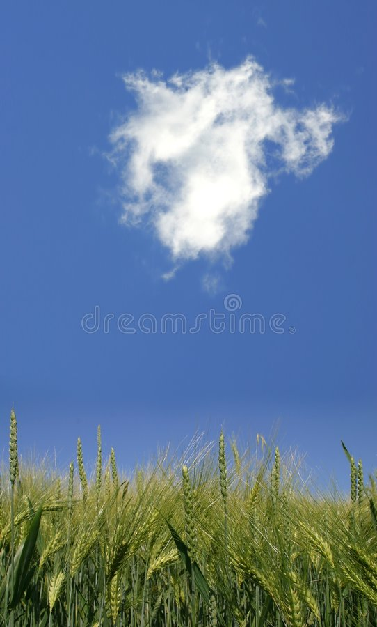 Agriculture. In Germany Green Wheat stock images