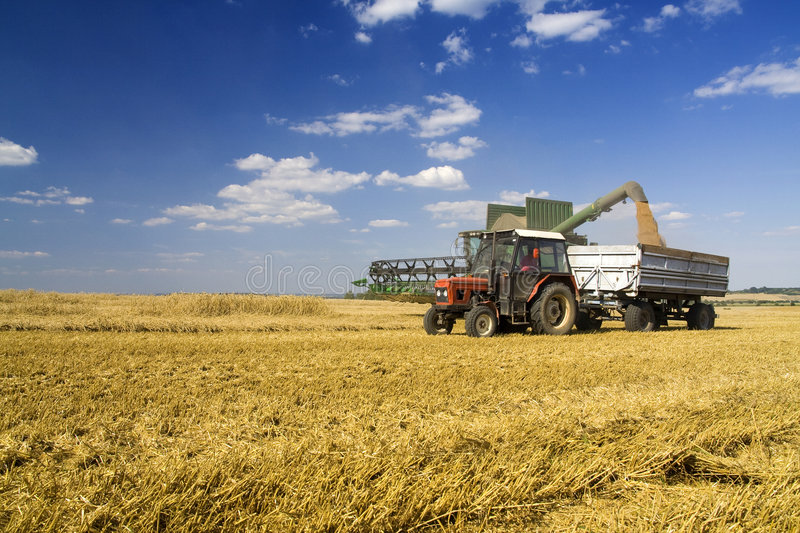 Agriculture. Combine transfuse harvested corn in rulley royalty free stock photography