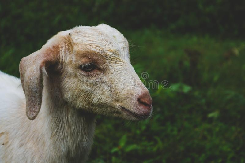 Agriculture, Animal, Baby royalty free stock photo