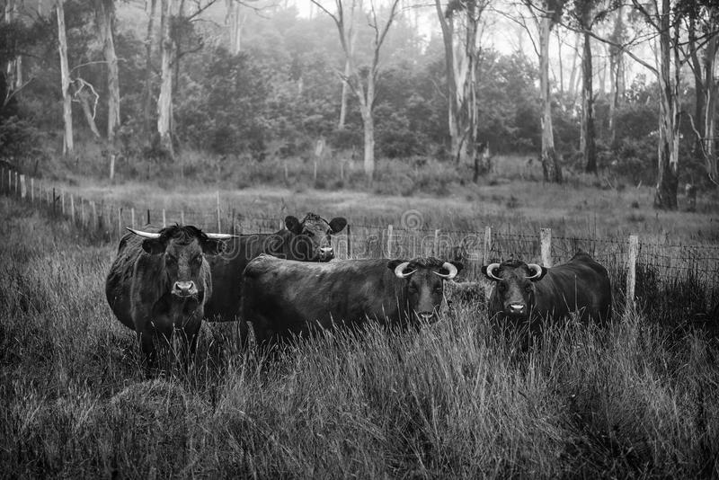 Agriculture, Animal, Black-and-white royalty free stock images