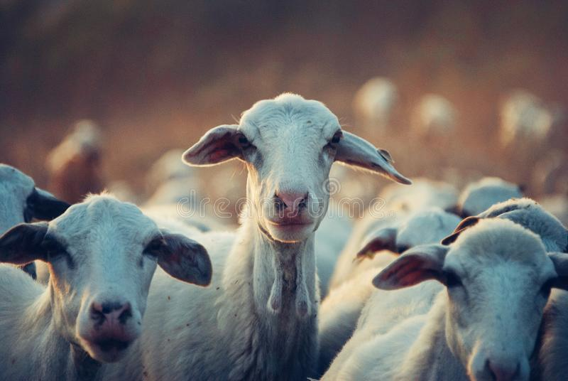 Agriculture, Animals, Cattle royalty free stock photo