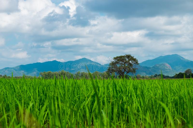 agriculture of asia beautiful scenery asian rice field with clear sky. image for nature, food, farm, industry, landscape, country stock image
