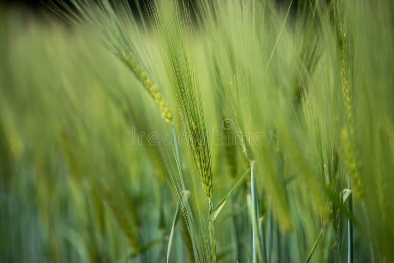 Agriculture : Champ de ma?s vert frais un jour ensoleill?, printemps image stock