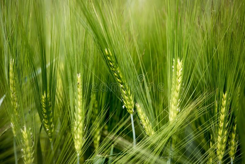 Agriculture : Champ de ma?s vert frais un jour ensoleill?, printemps photos libres de droits