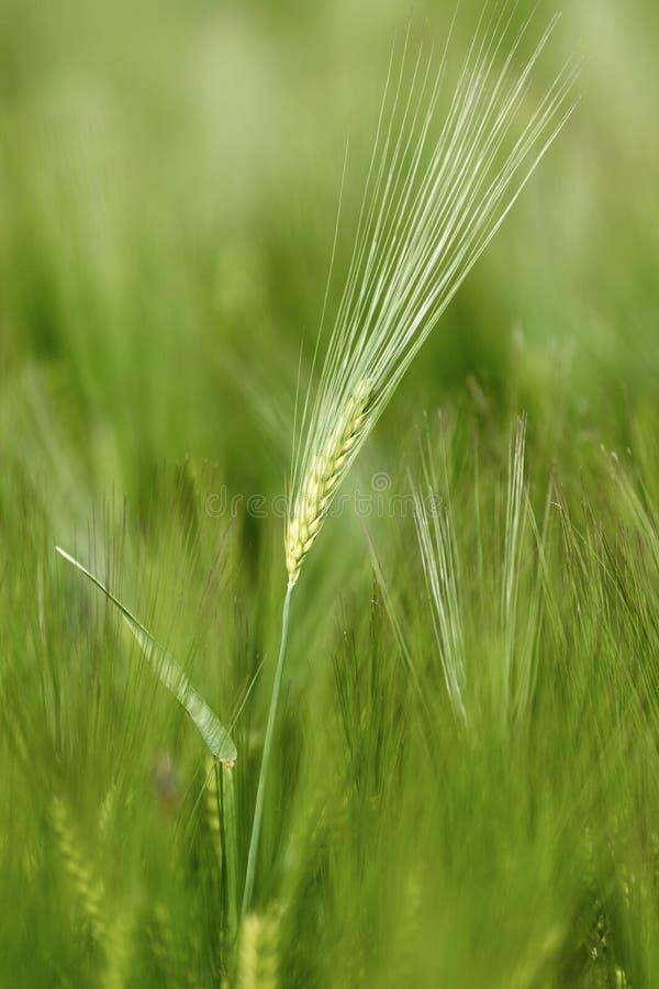 Agriculture : Champ de ma?s vert frais un jour ensoleill?, printemps photo stock