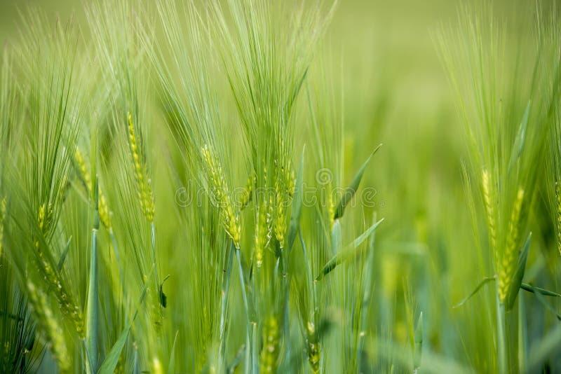 Agriculture : Champ de ma?s vert frais un jour ensoleill?, printemps image libre de droits