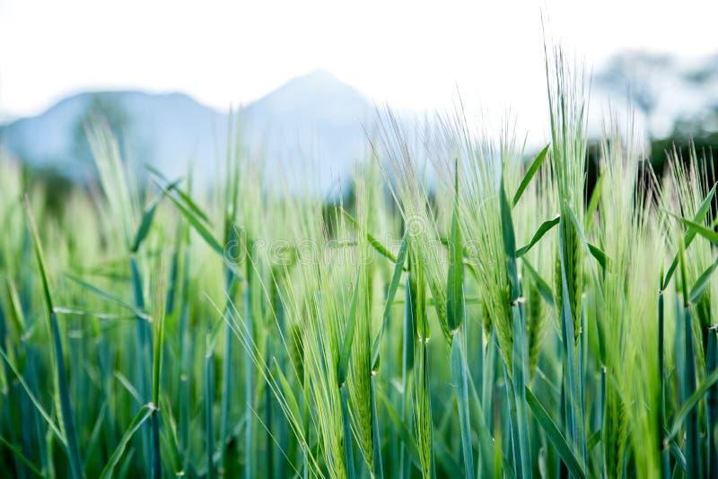 Agriculture : Champ de ma?s vert frais un jour ensoleill?, printemps photographie stock libre de droits