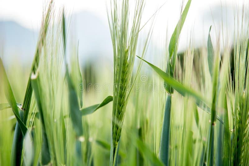 Agriculture : Champ de ma?s vert frais un jour ensoleill?, printemps photos stock