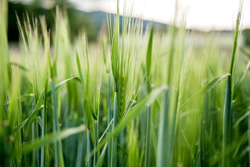 Agriculture : Champ de ma?s vert frais un jour ensoleill?, printemps photographie stock
