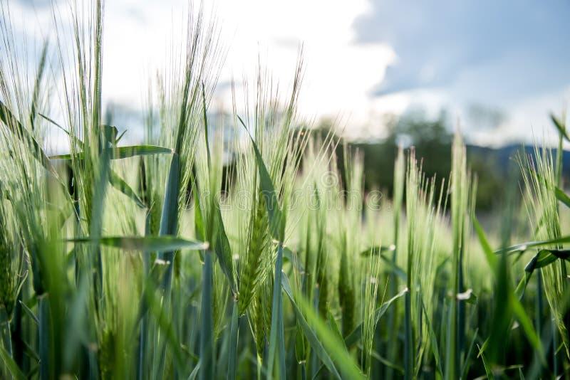 Agriculture : Champ de ma?s vert frais un jour ensoleill?, printemps images stock