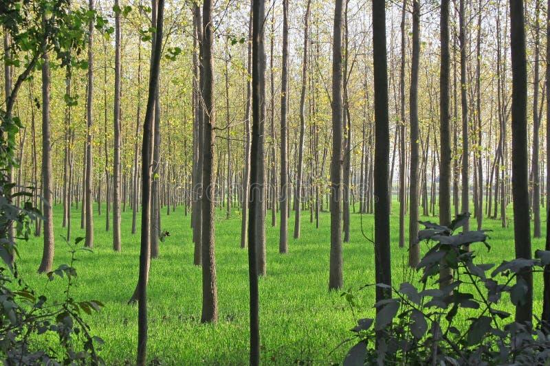 Agriculture, culture et agriculture d'arbre de peuplier photos stock
