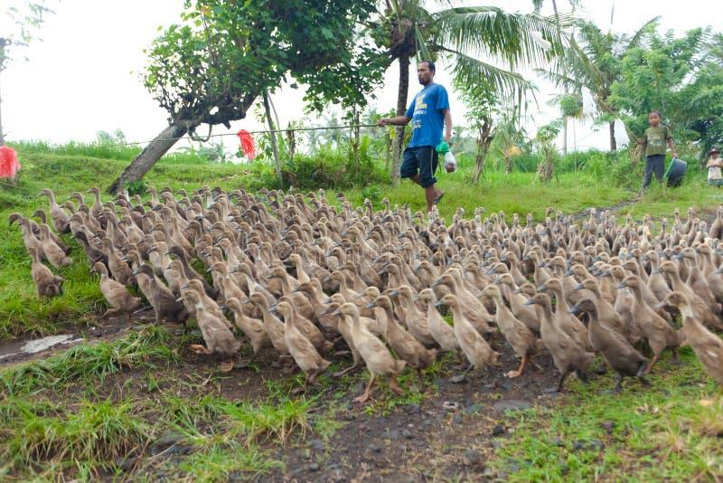 Agriculture de canard images libres de droits