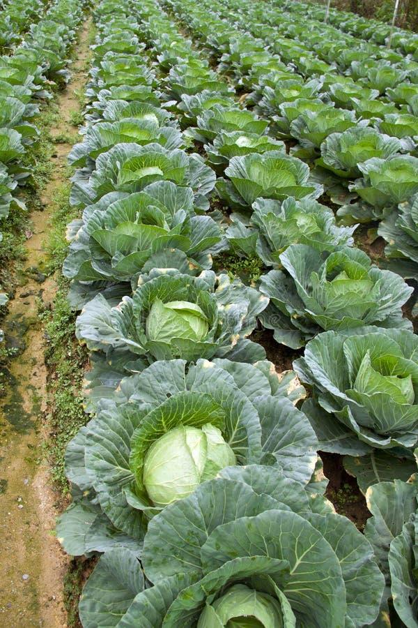 Agriculture de chou photographie stock libre de droits