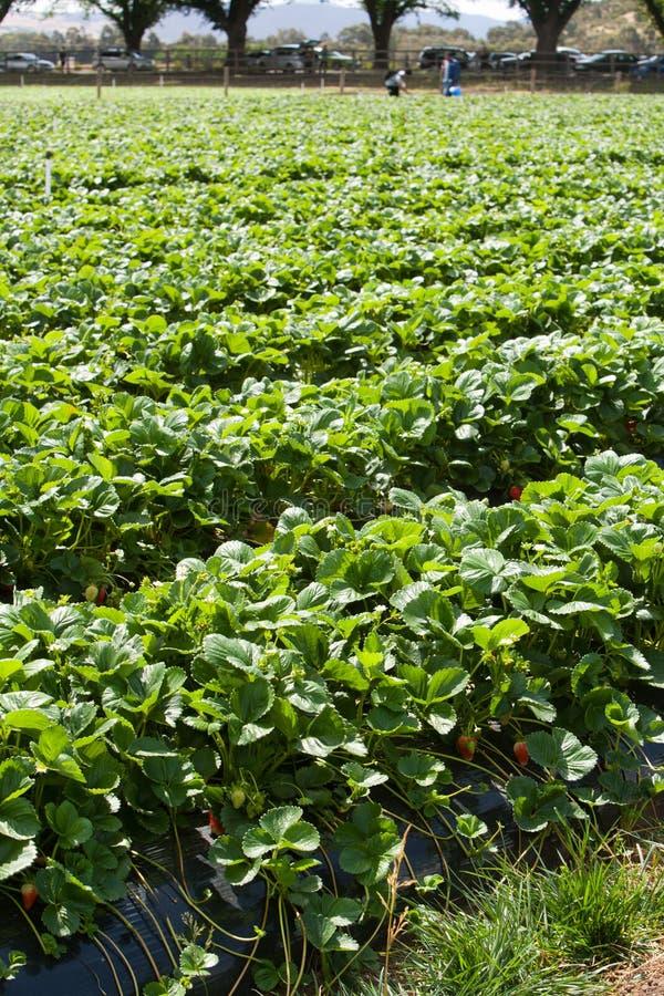 Agriculture de fraise photographie stock libre de droits