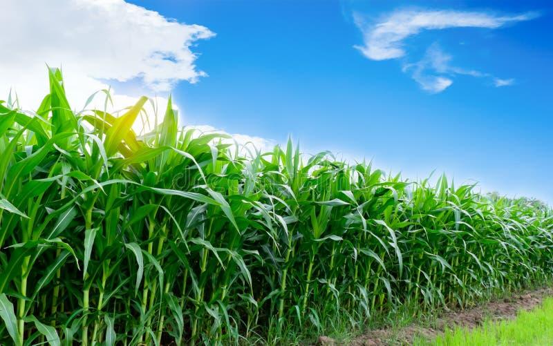 Agriculture de maïs photo libre de droits