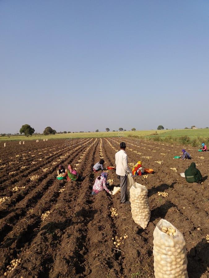 Agriculture de pomme de terre photographie stock