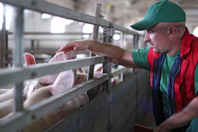 Agriculture de porc photos libres de droits