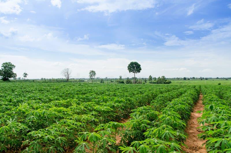 Agriculture de terres cultivables de manioc photo libre de droits