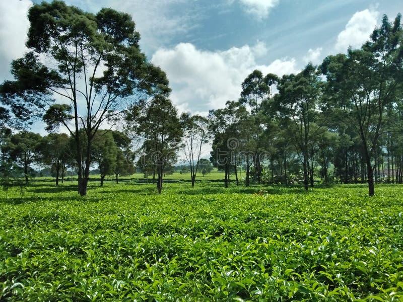 Agriculture du thé images libres de droits