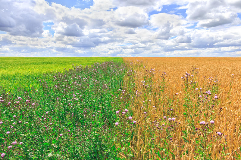 Agriculture farm field landscape. Yellow and green meadows at summer sunny day. royalty free stock photo