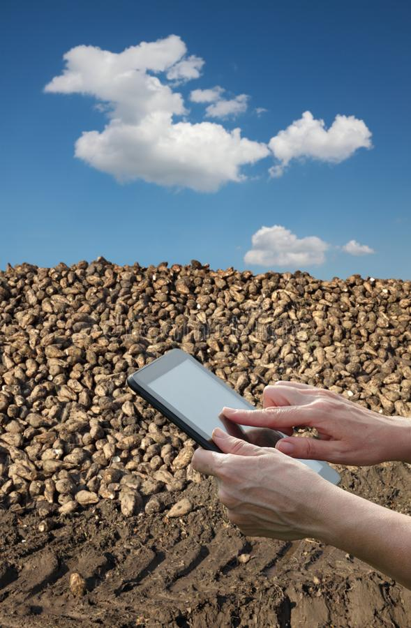 Farmer and sugar beet root harvesting in field, agricultural concept. Agriculture, farmer or agronomist calculate heap of sugar beet after harvest using tablet stock images