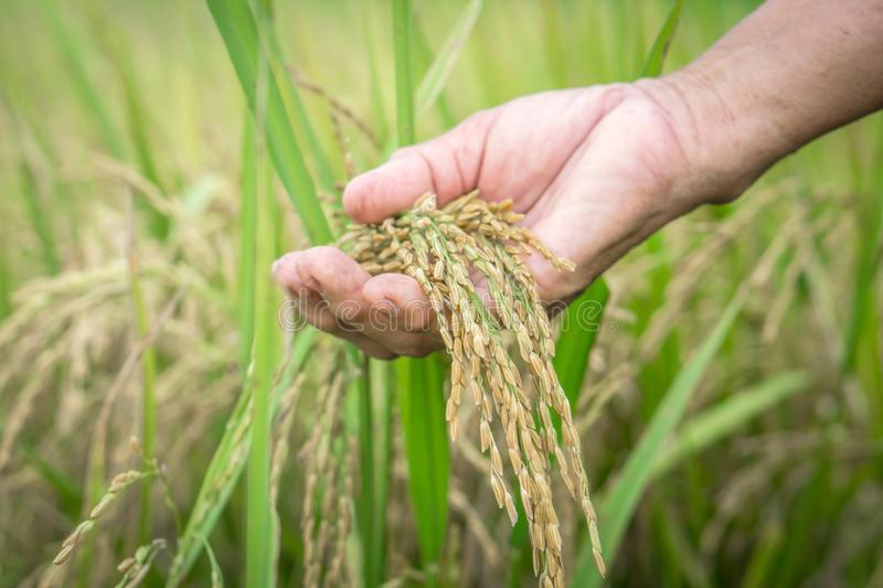 Agriculture farmer hand holding rice seeds closeup. Agriculture, farmer hand holding rice seeds in paddy field closeup royalty free stock images
