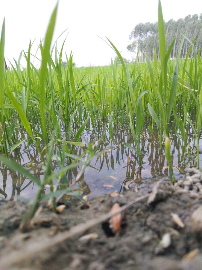 Agriculture farming in monsoon season in water field royalty free stock images