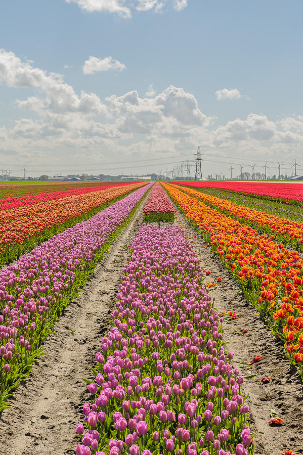 Agriculture - Flower bulbs - Tulips stock photo