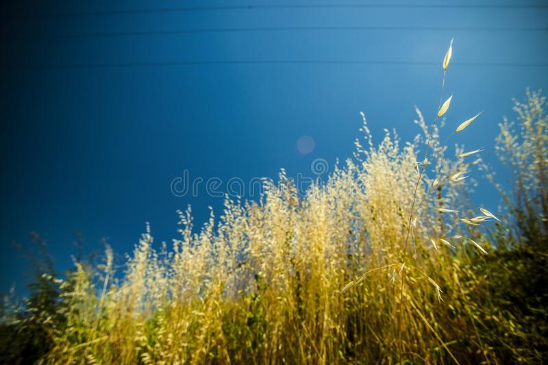Golden grass from the sun on board cultivated fields royalty free stock images