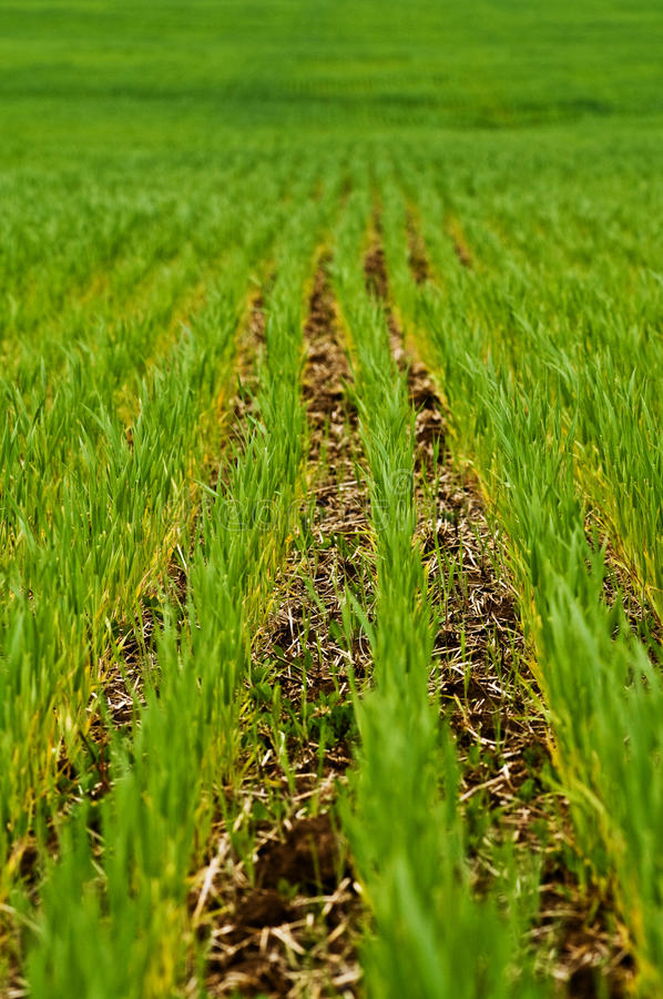 Agriculture Green Crop Rows Stock Photo