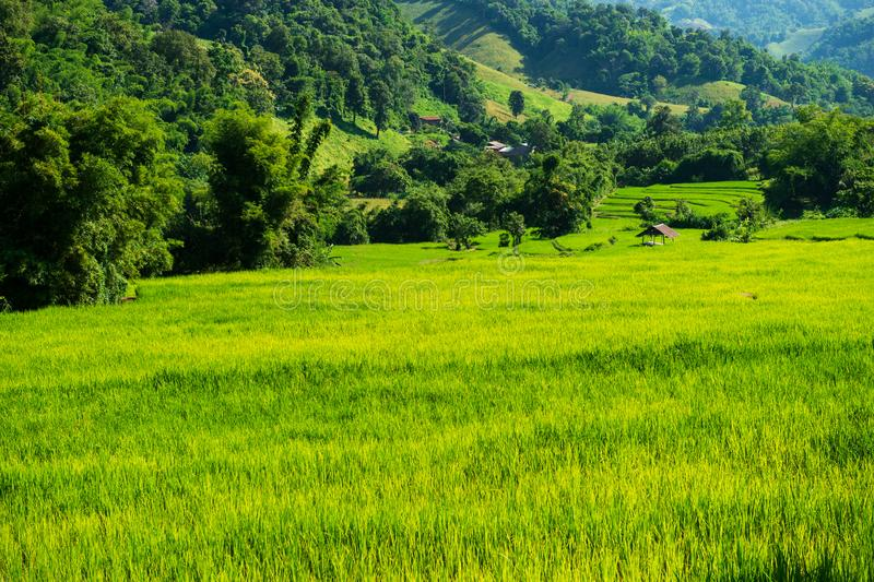 Agriculture green yellow rice field in the Chaingrai natural valley Thailand. Agriculture green yellow rice field in the Chaingrai natural valley countryside stock image