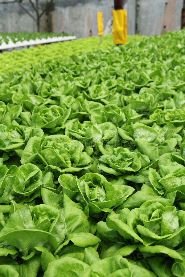 Agriculture - Hydroponic Plantation 02. Organic Hydroponic Vegetable Plantation at Cameron Highlands, Malaysia royalty free stock image