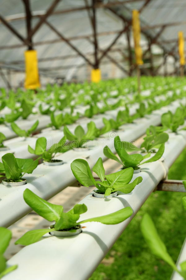 Agriculture - Hydroponic Plantation. Image of Organic Hydroponic Vegetable Plantation stock photo