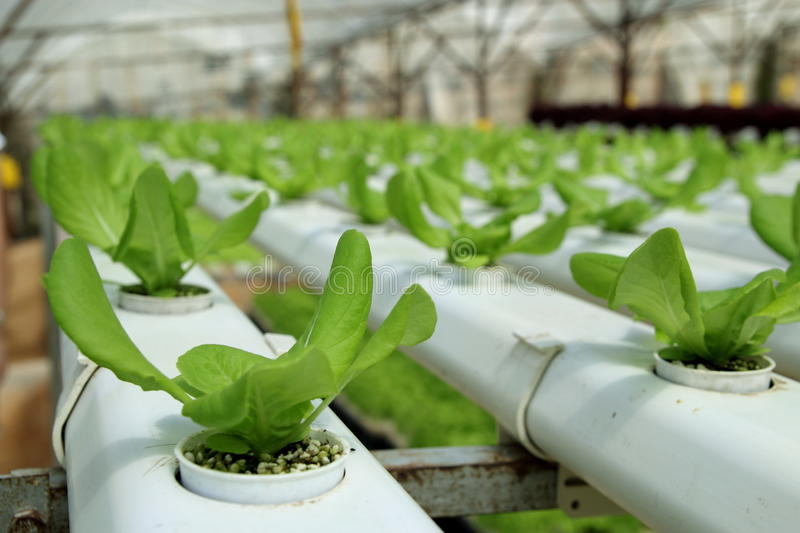 Agriculture - Hydroponic Plantation. Image of Organic Hydroponic Vegetable Plantation royalty free stock photography