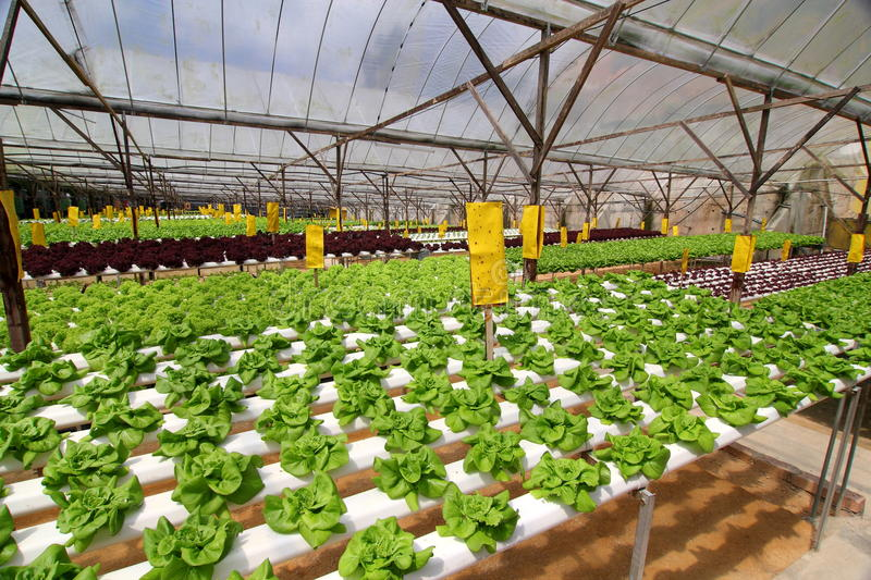 Agriculture - Hydroponic Plantation. Image of Organic Hydroponic Vegetable Plantation stock images