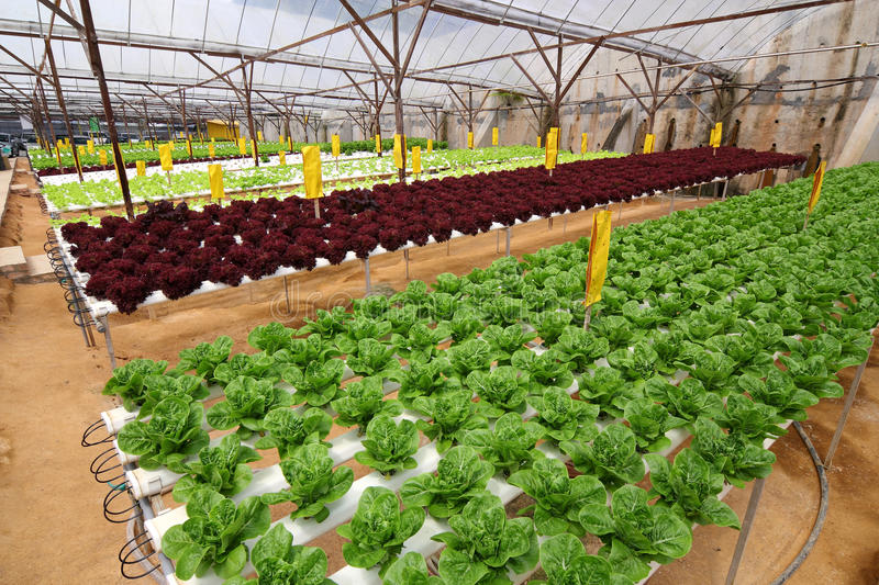 Agriculture - Hydroponic Plantation. Image of Organic Hydroponic Vegetable Plantation royalty free stock image