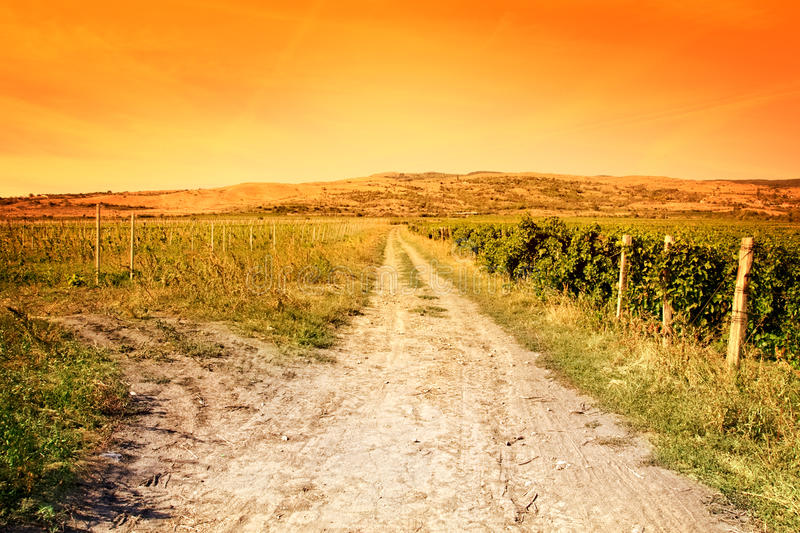 Agriculture landscape - vineyard and sunny sky stock photography