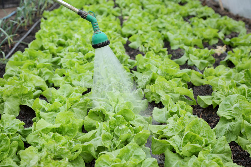 Download Agriculture, Lettuce Watering Stock Photo - Image: 36264574