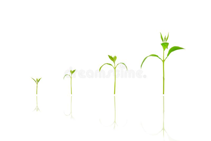 Agriculture plant seeding growing step concept on white isolated background. New life growth ecology business financial progress concept ,Earth Day royalty free stock photography