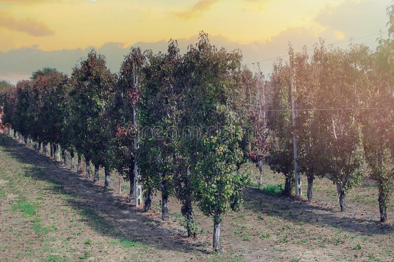 Agriculture. Rows of pear trees grow stock photo