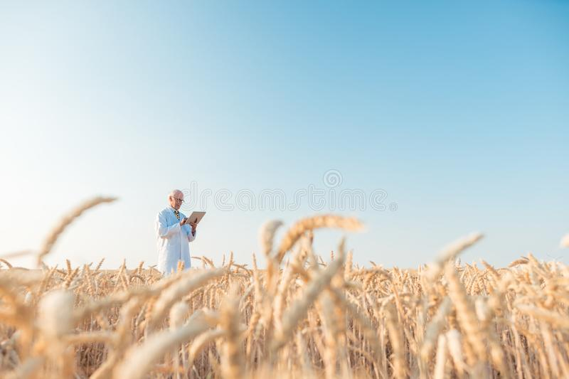 Agriculture scientist doing research in grain test field tracking data. Wide shot royalty free stock photography
