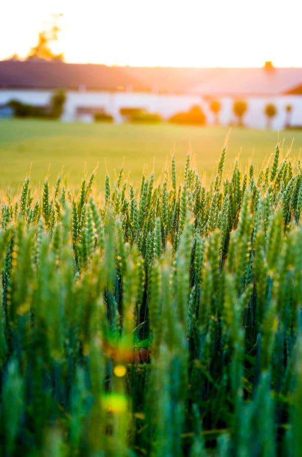 Wheat field sunset stock photo