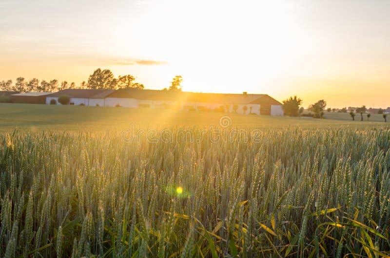 Wheat field sunset royalty free stock photo