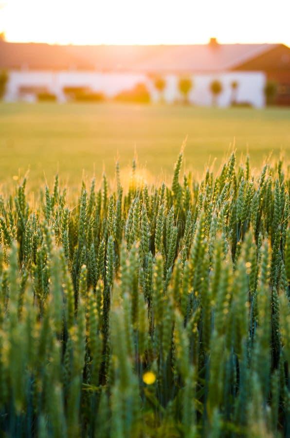 Wheat field sunset royalty free stock photos