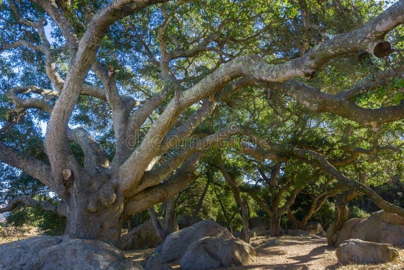 Agrifolia litoral enorme do Quercus do carvalho verde americano que estica seus ramos sobre a fuga, San Luis Obispo, Califórnia imagem de stock royalty free