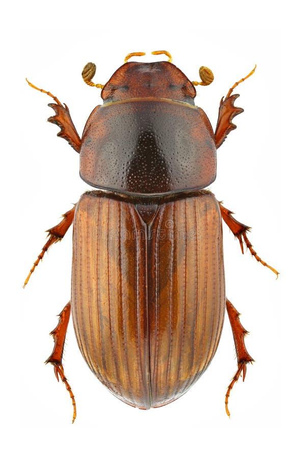 Download Agrilinus rufus zdjęcie stock. Obraz złożonej z biały - 18201718